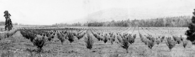 Photo en noir et blanc représentant des rangées de jeunes arbustes dans un grand champ plat avec une forêt et une colline en arrière-plan.