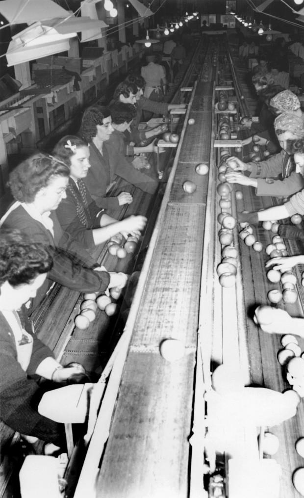 Photo en noir et blanc de l'intérieur d'un édifice. Les pommes avancent sur un tapis roulant au centre et, de part et d'autre du tapis, des femmes les trient.