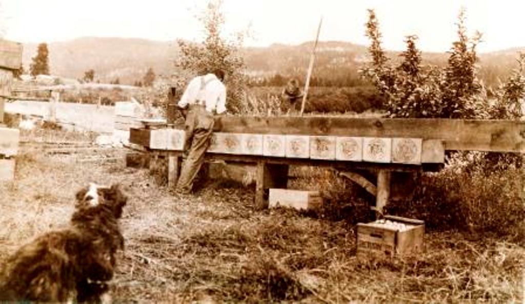 Photo sépia représentant un homme en tenue de travail, à l'extérieur, tournant le dos au photographe. Il est en train de déposer des pommes dans plusieurs caisses de bois alignées sur un banc. Au premier plan, un chien noir et blanc regarde l'homme.