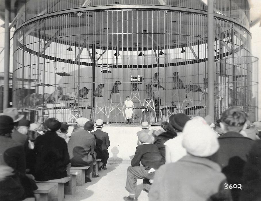 Une photo en noir et blanc de tigres de cirque dans une grande cage ronde sur une scène avec un dresseur prêt à commencer le spectacle devant l'auditoire assis