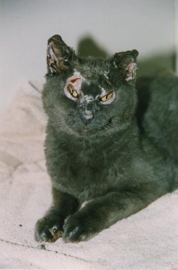 Chat gris-noir avec cicatrices de brûlures est couché sur une serviette blanc-cassé.