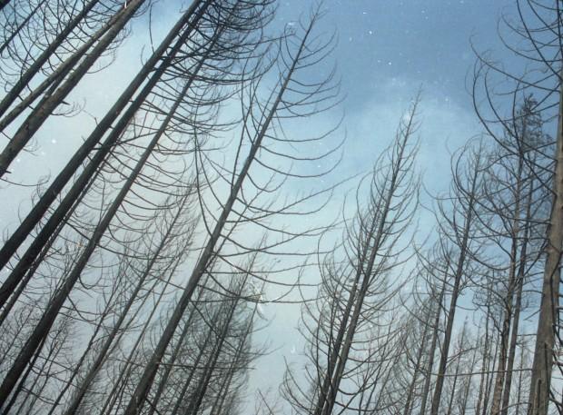 Groupe d'arbres encore debout, brûlés, dans une forêt.