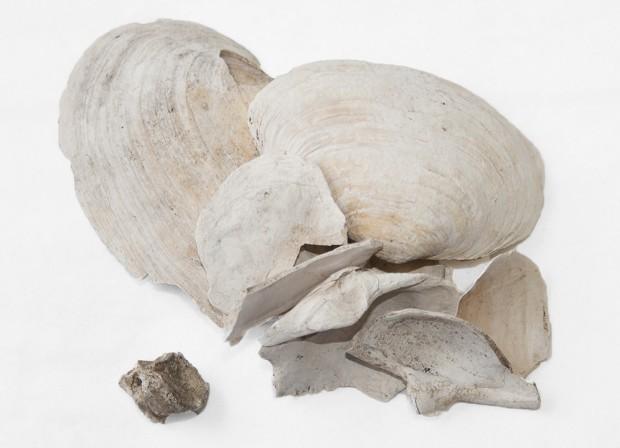 Fragment d'os blanchis et de coquille de coquille de myes du début des années 1800.