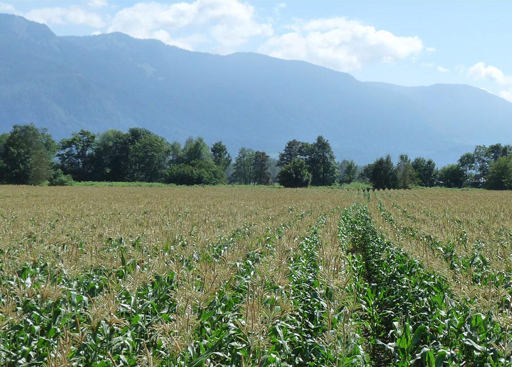 Photo en couleur d'un champ de maïs par une journée ensoleillée avec des montagnes en arrière-plan.