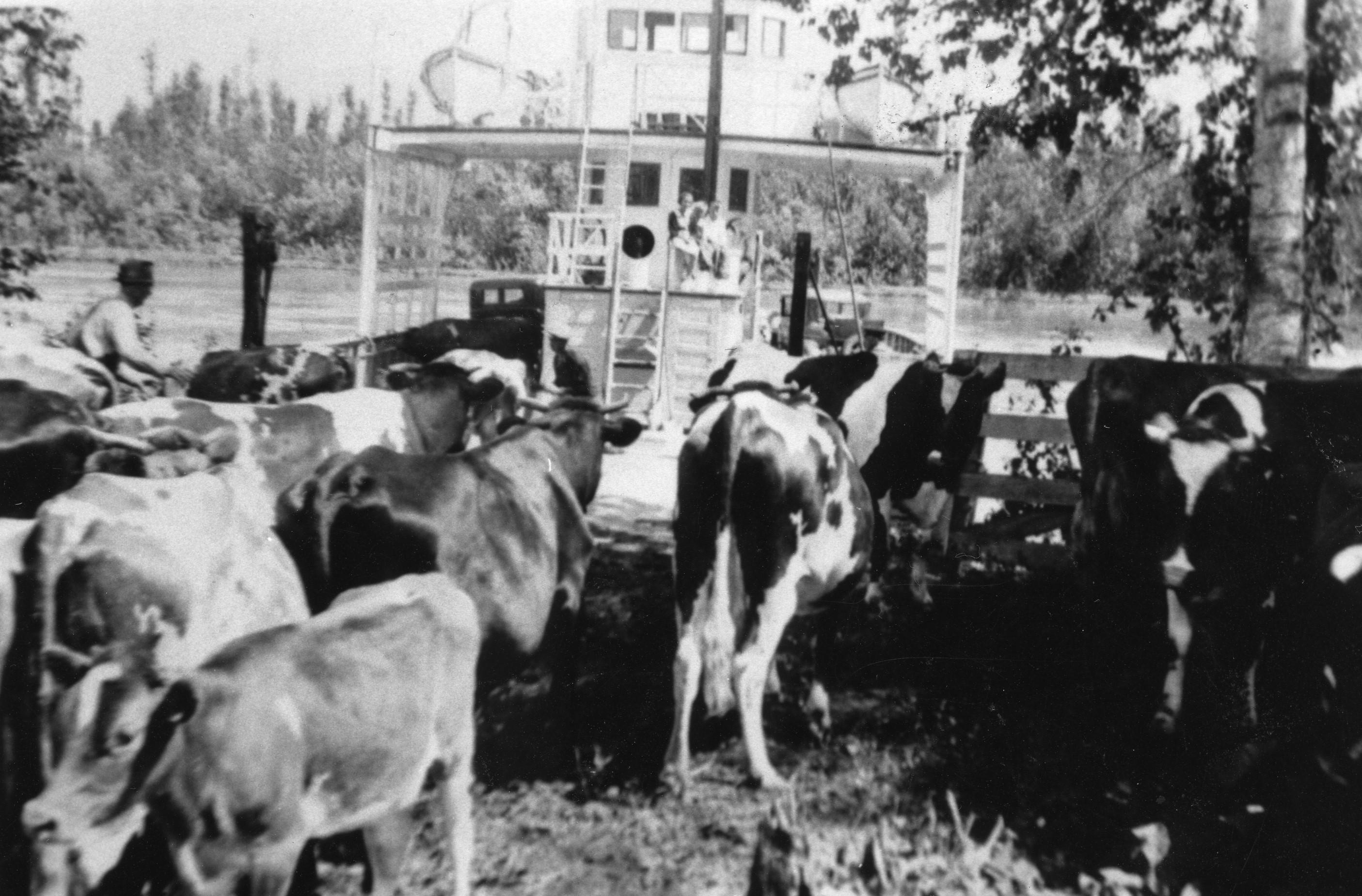 Photo en noir et blanc de vaches qui montent sur un traversier.