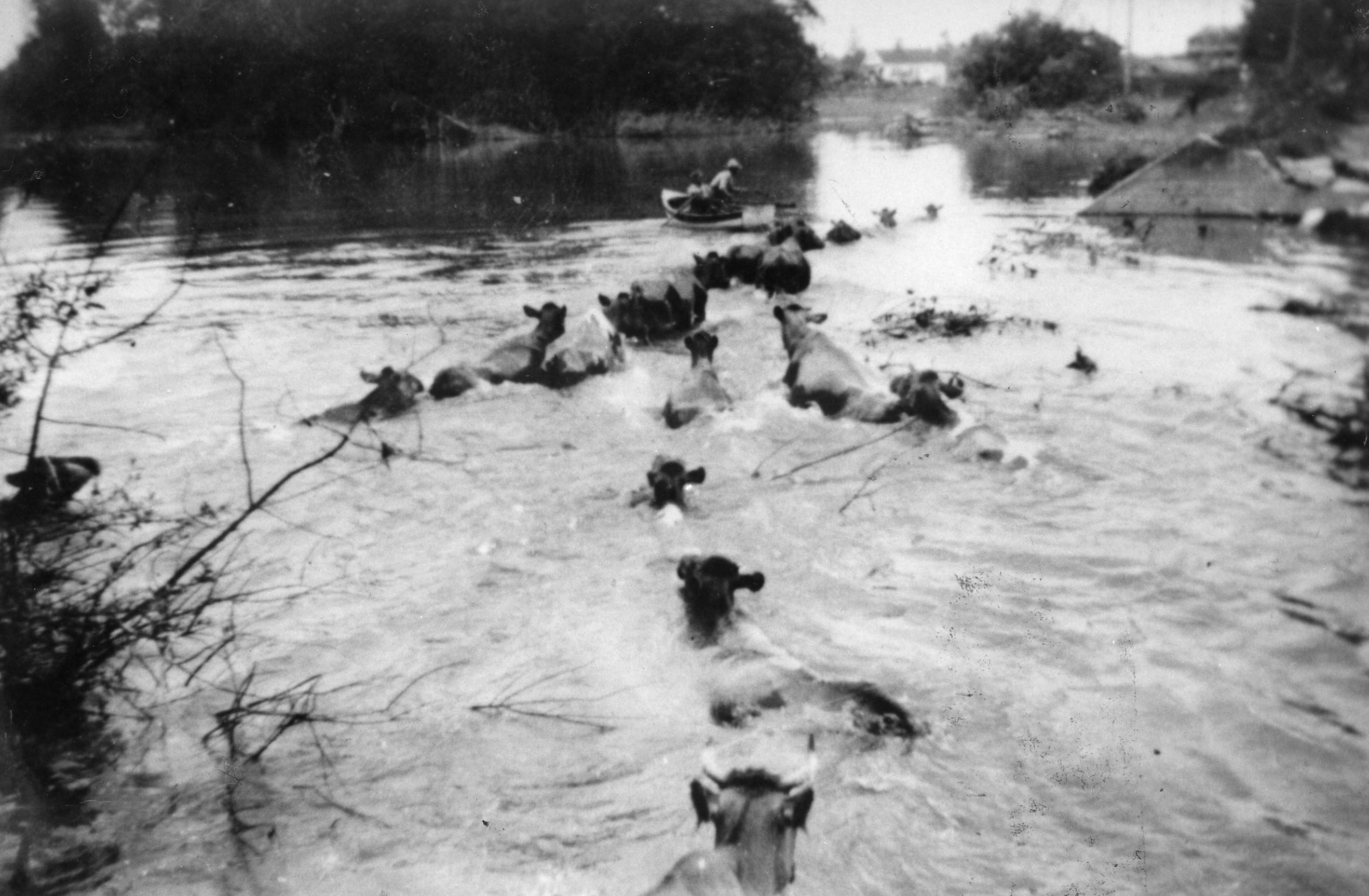 Photo en noir et blanc de vaches nageant sur des terres agricoles inondées en suivant un bateau à rames.