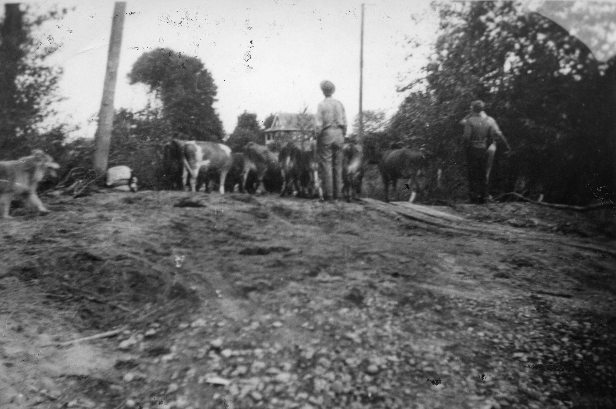 Photo en noir et blanc de vaches en train d'être rassemblées sur une colline.