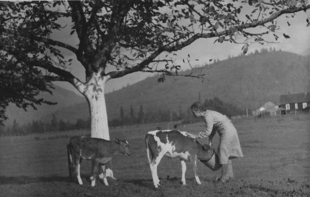 Photo en noir et blanc d'une femme nourrissant deux veaux dans un seau. Elle est debout dans un champ sous un arbre.