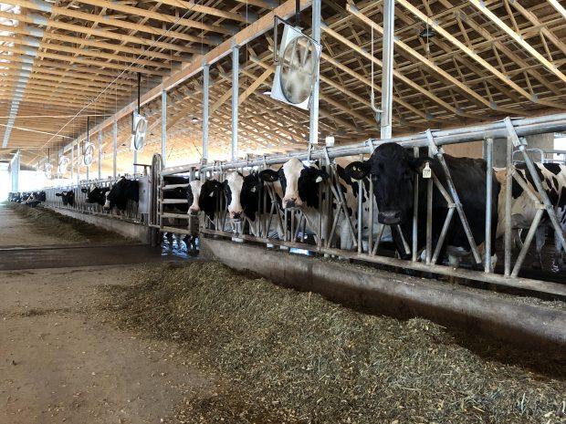 Photo en couleur des vaches dans une étable. Le fourrage est étalé devant leurs stalles.