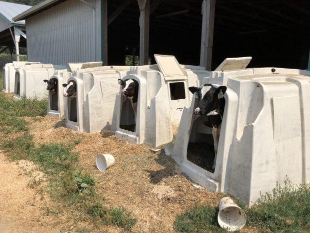Photo en couleur des veaux dans leur enclos devant une grange.