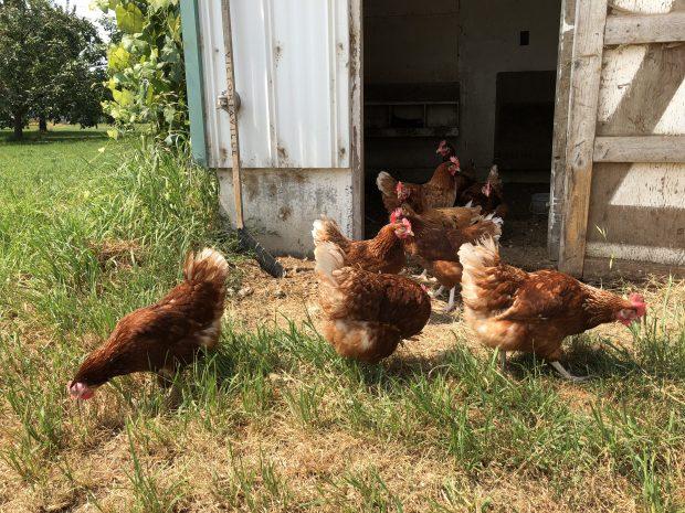 Photo en couleur de poules brunes devant une remise.