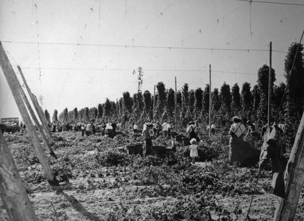 Photo en noir et blanc d'enfants et d'adultes cueillant du houblon dans un champ.