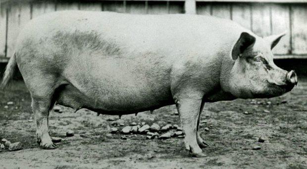 Photo en noir et blanc d'une grande truie.