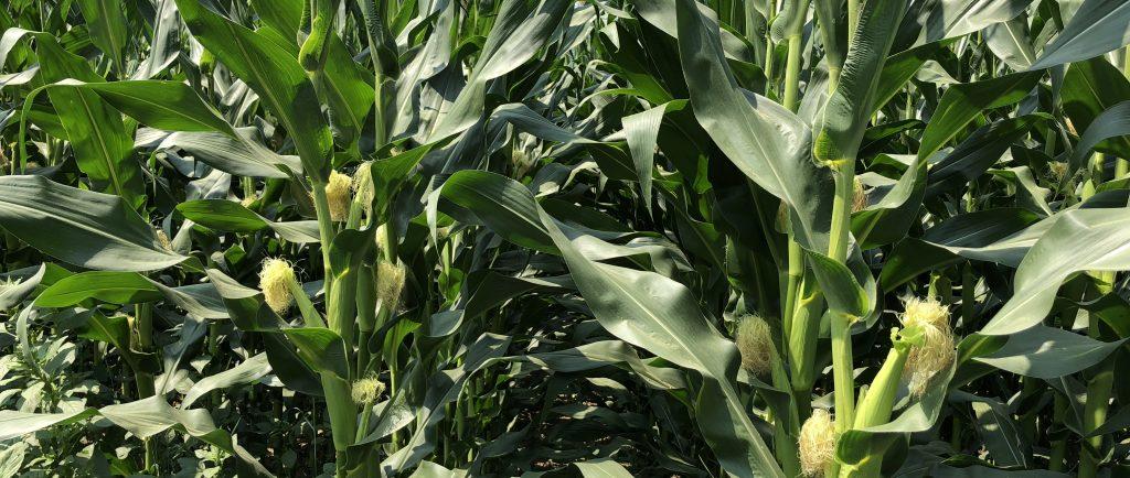 Photo en couleur montrant un champ de maïs avec de grandes tiges et de petits épis.