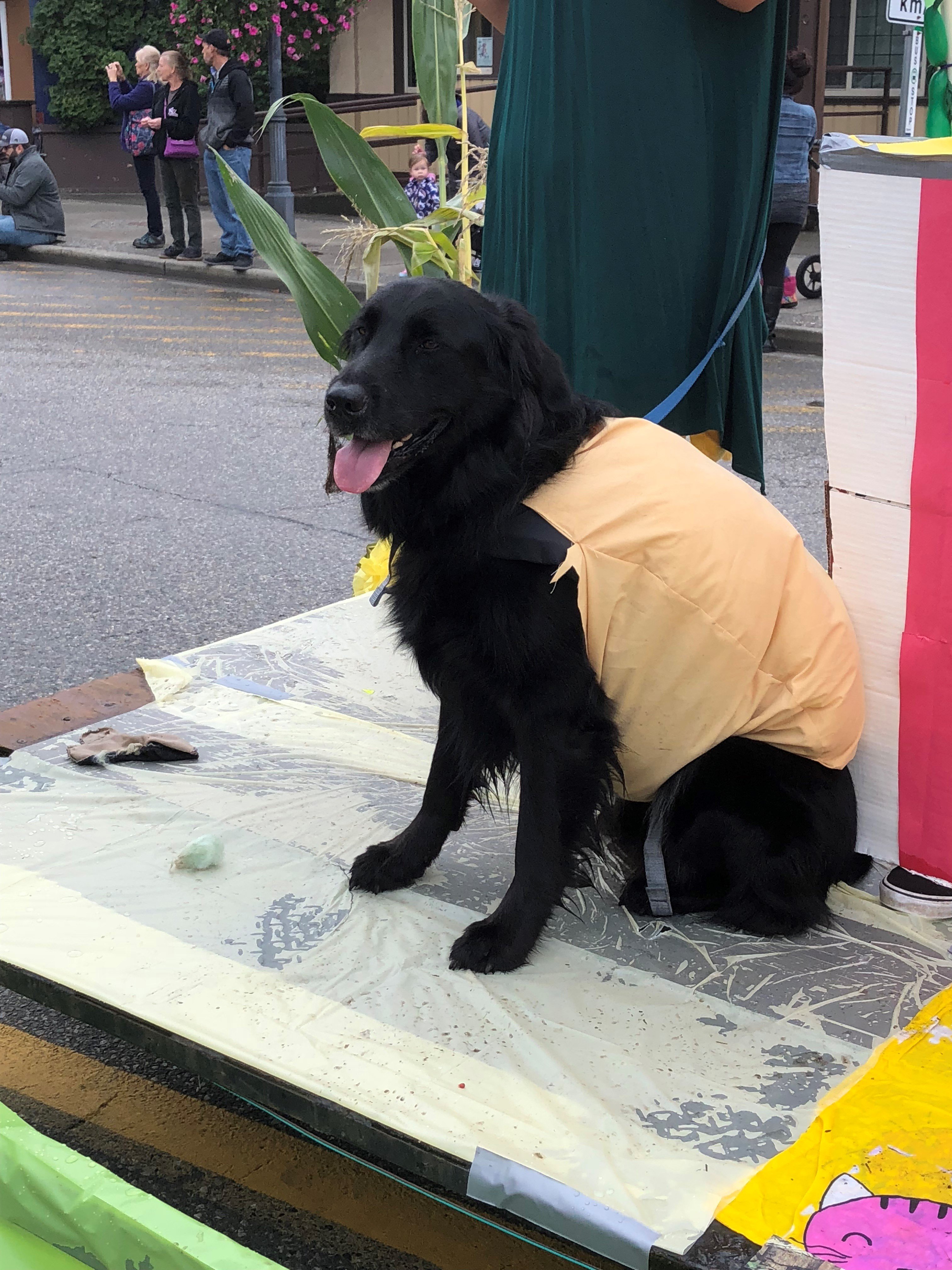 Photo en couleur d'un chien noir déguisé en corn dog sur un char du défilé.