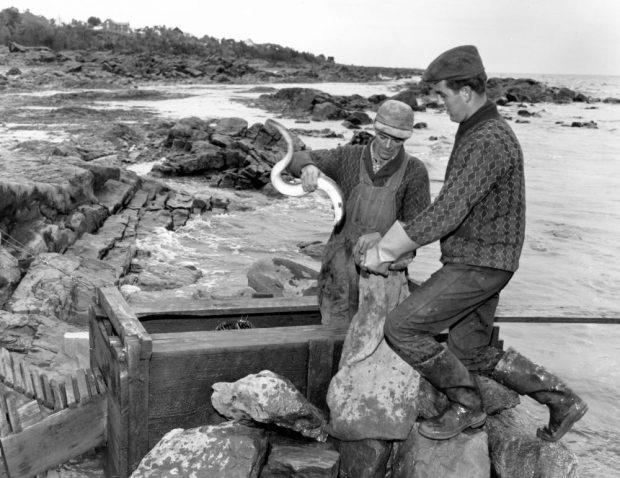 Un homme est debout dans le coffre en bois d'une pêche à anguilles dans une baie. Il tient une anguille d'une main et ouvre un sac de jute de l'autre. Près du coffre, un jeune homme debout sur des roches tient également le sac; photo noir et blanc.