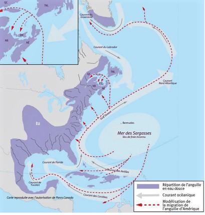 Carte marine montrant la côte est américaine jusqu'au Mexique et le trajet fait par les anguilles pour remonter de la mer des Sargasses jusqu'au Saint-laurent et y redescendre à la fin de leur vie pour s'y reproduire. La mer des Sargasses se situe dans l'océan Atlantique à la hauteur des états de la Virginie et des Caroline Nord et Sud.