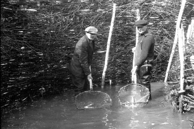 Deux hommes debout dans l'eau qui leur arrive aux chevilles. Ils sont devant une haute barrière de branchage et tiennent un grand filet dans lequel il y a une anguille; photo noir et blanc.