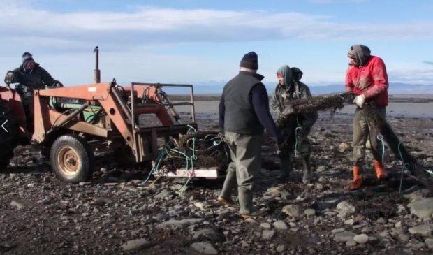 Trois hommes sur le rivage déposent un filet de pêche sur la pelle d'un tracteur conduit par un 4e homme.