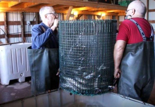Deux hommes tiennent (de chaque côté) un grand panier rond et grillagé au-dessus d'un réservoir rempli d'eau. Il y a des anguilles dans le panier.