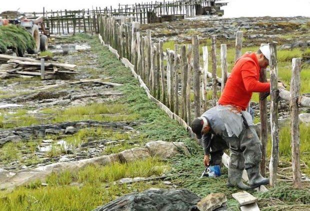 Une longue rangée de poteaux fichés dans un sol rocailleux et herbeux. Deux hommes mettent du sapinage à la base de la rangée.