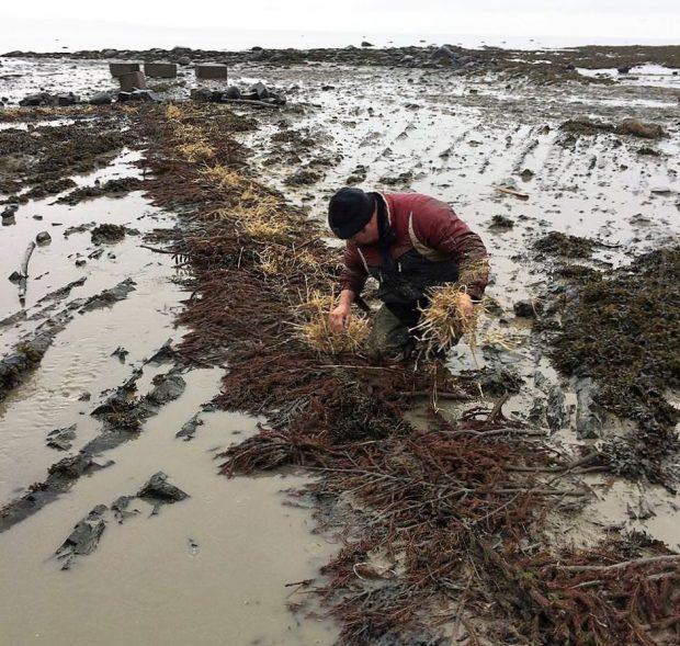 Sur le rivage, un homme accroupi met du foin dans des trous où se trouvaient les poteaux et les perches d'une pêche à anguilles.
