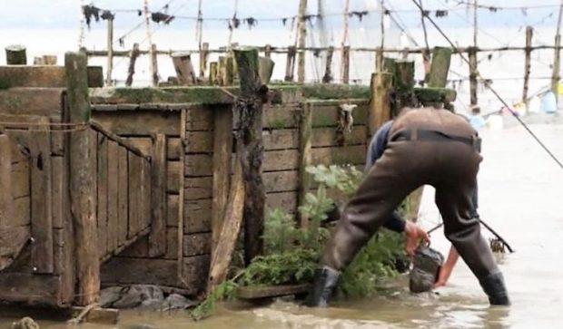 Un homme portant des bottes-pantalon est debout les pieds dans l'eau du fleuve. Il s'apprête à déposer une roche sur des branches d'épinette le long d'un grand coffre en bois servant à garder les anguilles captives dans la pêche.