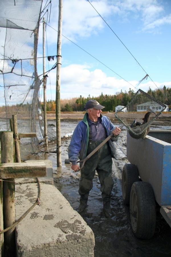 Un homme debout, entre une remorque et une pêche à anguilles, tient un filet monté sur un cadre carré et doté d'un long manche, deux ou trois anguilles sont dans ce filet appelé saillebarde.