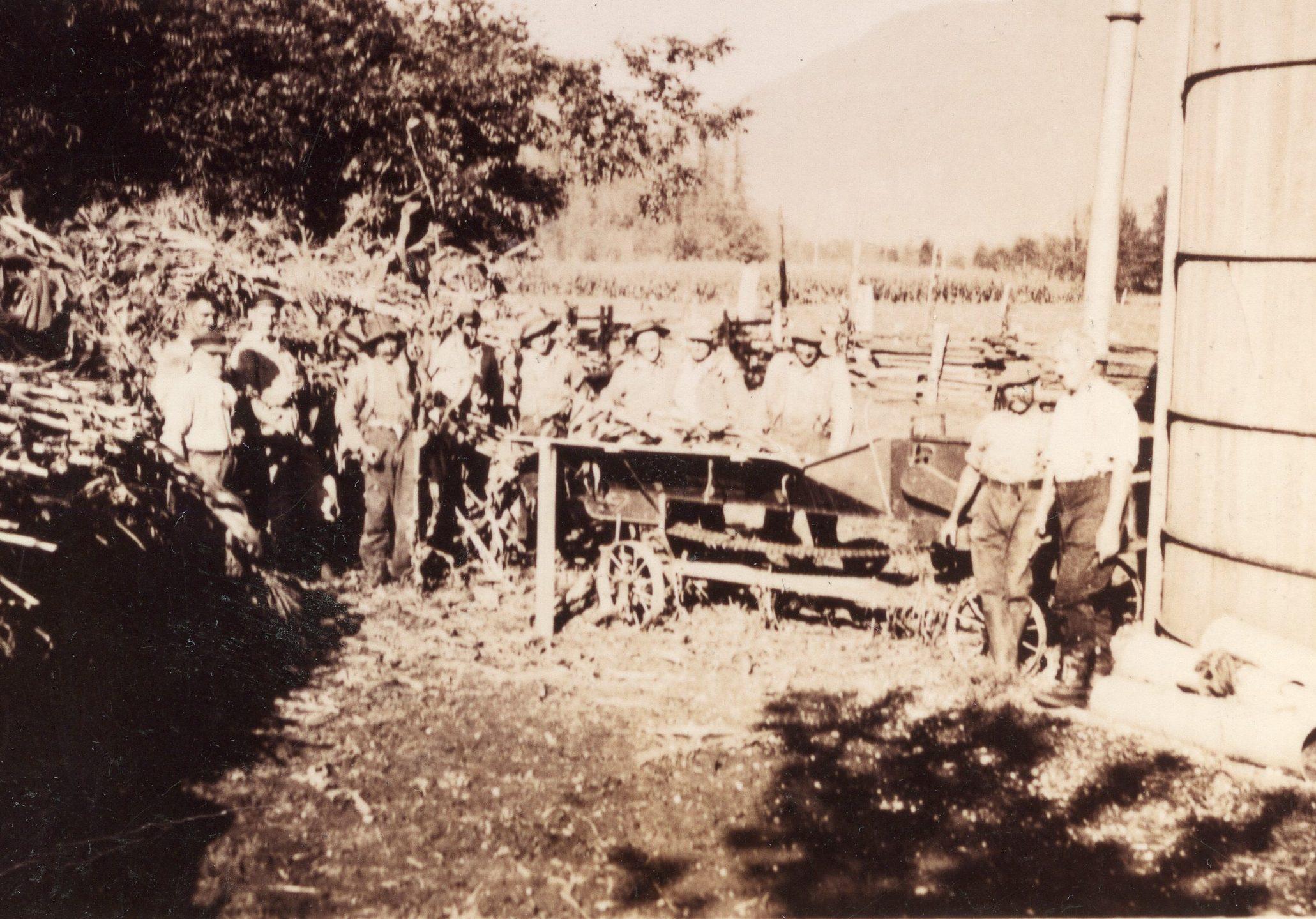 Photo en noir et blanc d'hommes sont en train de faire de l'ensilage de maïs. Ils sont debout à côté d'un silo et d'une pile de tiges de maïs. Plusieurs hommes se tiennent derrière une machine qu'ils alimentent avec les tiges de maïs.